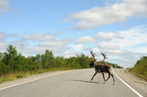 Elch in Finnland